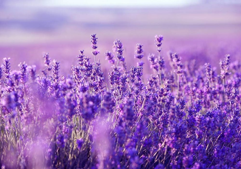 The smell of lavender is as effective as Valium